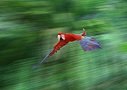 Green-winged Macaw in flight