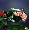 East African tree snails