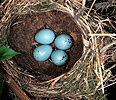 Song Thrush nest
