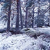 Scots Pine forest with snow