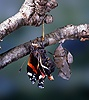 Red Admiral hatch - emerging
