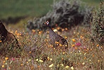 Guinea Fowl in spring flowers
