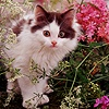 Kitten among Hedge Parsley and Lewisia