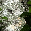 Peppered Moths on birch trunk