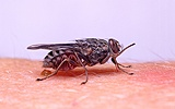 Tsetse fly biting