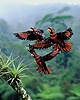 Dusky Lories in flight