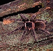 Giant Salmon-pink Bird-eating Spider