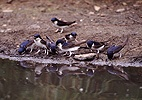 House Martins collecting mud