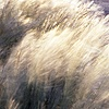 Grasses blowing in the wind