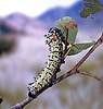 Mopane Moth caterpillar
