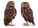 Pair of Little Owls