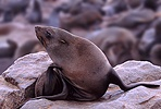 Cape Fur Seal scratching neck