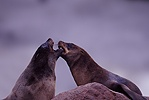 Cape Fur Seals arguing