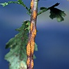Rust fungus on groundsel