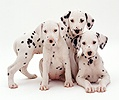 Three Dalmatian puppies