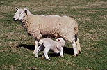 Sheep and suckling lamb