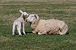Sheep and lamb nuzzling