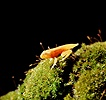 Golden froglet