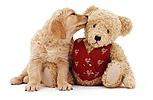 Retriever puppy and teddy bear