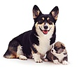 Corgi mother and puppy