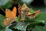 Silver-washed Fritillary mating pair + male