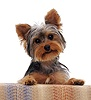 Yorkshire Terrier pup with its paws up