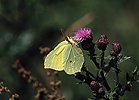 Brimstone on creeping thistle