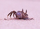 Sand Crab excavating burrow