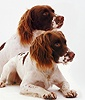 Two English Springer Spaniels