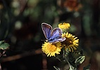 Common Blue on fleabane