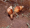 African Giant Snails
