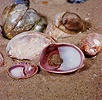 Slipper Limpet shells with crab