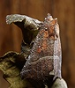 Dew-covered Herald Moth