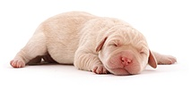 Newborn Yellow Labrador pup