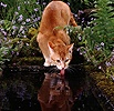 Ginger cat drinking from pond