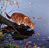 Red tabby cat drinking from lake edge
