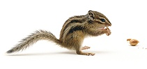 Chipmunk eating a nut