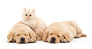 Cream kitten and sleeping Labradors