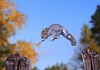 Squirrel leaping