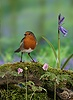 Robin in spring wood