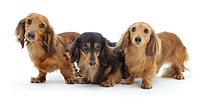 Three miniature longhaired Dachshunds