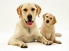 Yellow Labrador with pup