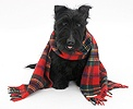 Scottie dog with a tartan scarf