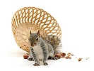 Grey Squirrel has upset basket of nuts