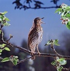 Song Thrush singing