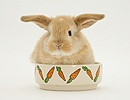 Sandy Lop baby rabbit in a food bowl