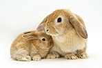 Sandy Lop doe rabbit and baby