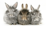Baby silver and agouti Lionhead rabbits