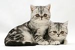 Blue-silver Exotic Shorthair kittens