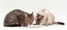 Cats eating from a bowl